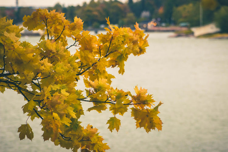 Maple leaves in fall color Autumn Beauty In Nature Branch Enjoying Life Fall Colors Leaf Maple Leaves Nature Outdoors Sea Yellow