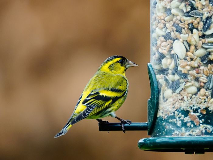 Close-up of yellow bird by feeder