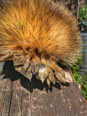 Oversized Thistle Flower Gone To Seed Furry Fluffy