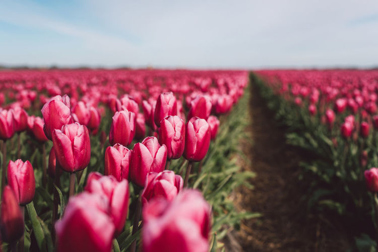 Close-up of pink tulips on field against sky