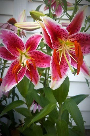 Flower Petal Nature Stargazer Lilies