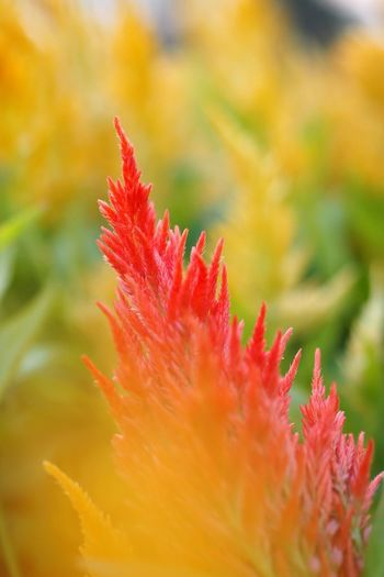 Close-up Nature Plant Growth No People Beauty In Nature Flower Day Outdoors Fragility Freshness Flower Photography Flowers Flowers, Nature And Beauty Celosía Celosia Flower