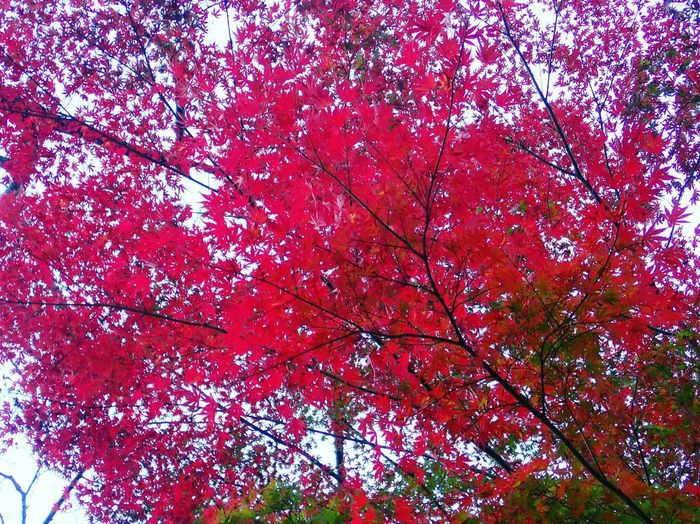 turned red so beautifully❤️🍁. Autumn Beauty In Nature Nature Tree Red Maple Tree Beauty Of Earth Beautiful Colors Autumn Colors Japan Oume City