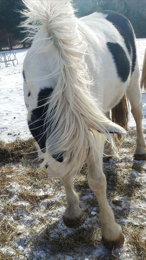 Frisky horse Winter Farm Life Horses Equine Photography Animals Snow Furry Friends Mane Black And White Horse Paint Horse Draft Horses Shire Day Outdoors