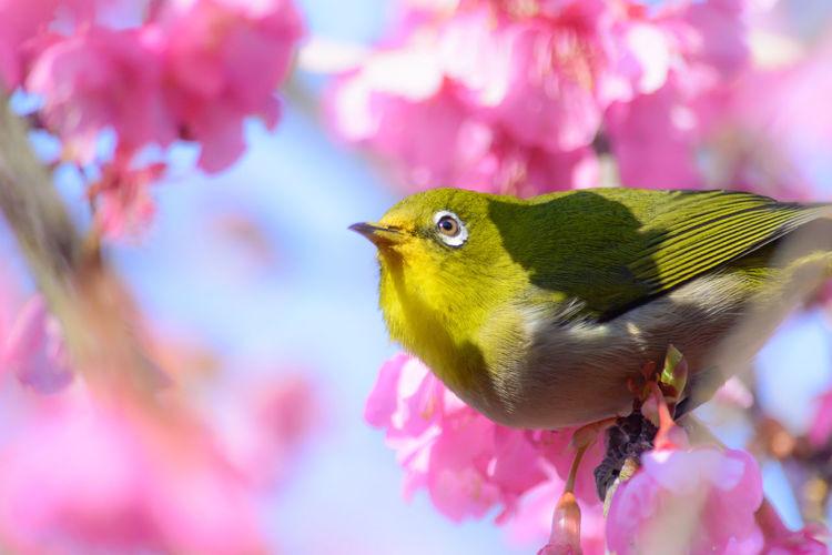 Cherry Blossom Japanese White-eye Kawazu-zakura&Japanese White-eye Sakura Animal Bird Flower Kawazu-zakura