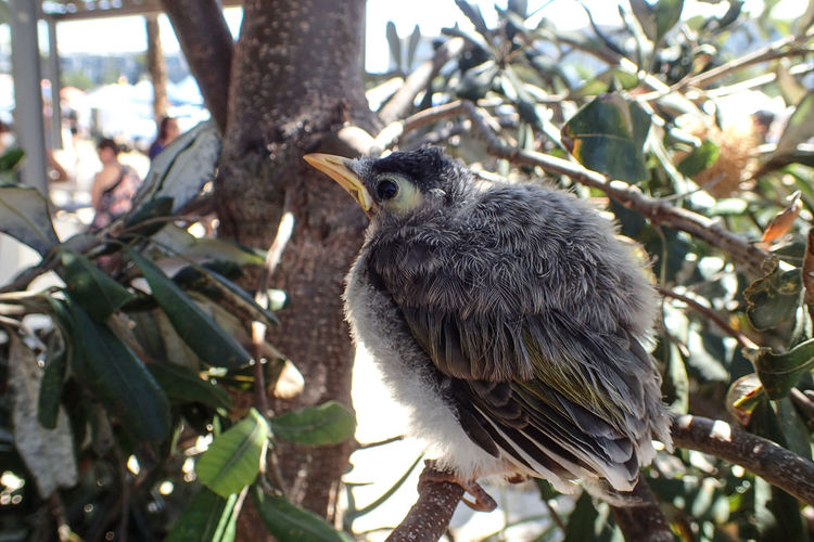 Fledging Noisy Miner Fledgling Fledging Baby Birds One Bird One Bird Perching Solitary Animals In The Wild Animal Wildlife Tree Animal Themes Day Bird One Animal Nature No People Perching Branch Outdoors Close-up Focus On Foreground Leaf
