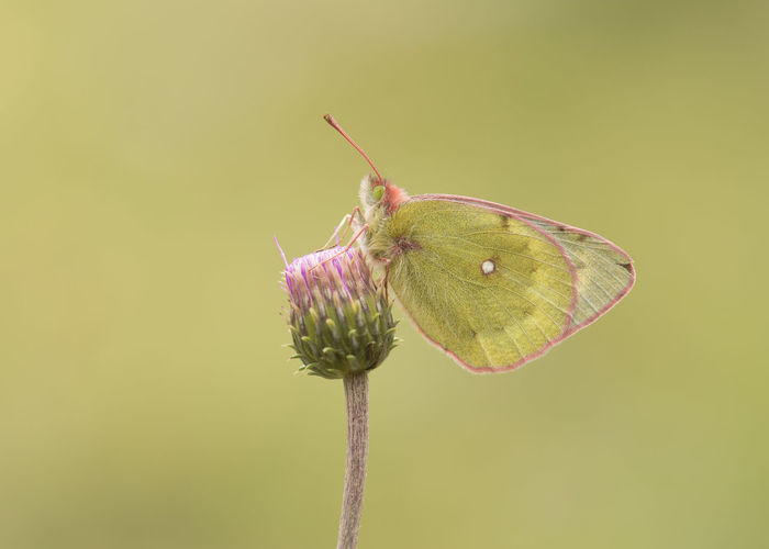 Pale clouded yellow butterfly resting on a flower with its wings closed on a soft yellow background Clouded Yellow Butterfly Butterfly Butterfly - Insect Insect Insect Butterfly Animals In The Wild Animal Wildlife Animal