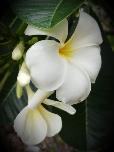 Beauty In Nature Close-up Day Flower Flower Head Flowering Plant Focus On Foreground Freshness Growth Leaf No People Outdoors Plant Plant Part White Color