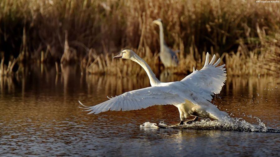 Full length of egret swimming in lake