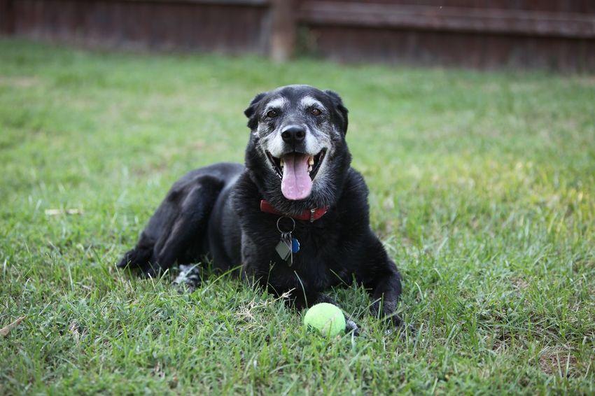 Dog Old Dog My Old Dog Black Labrador Summer Poolside