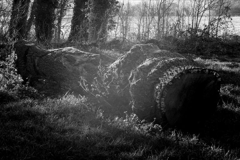 Sunlight On The Log Death Beauty In Nature Black And White Blackandwhite Day Forest Grass Growth Land Landscape Nature Outdoors Plant Scenics - Nature Tranquil Scene Tranquility Tree Tree Trunk Trunk WoodLand