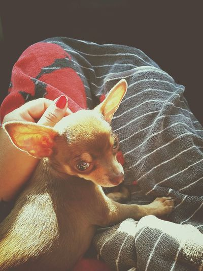 Chihuahua Animal Lover Puppy Love