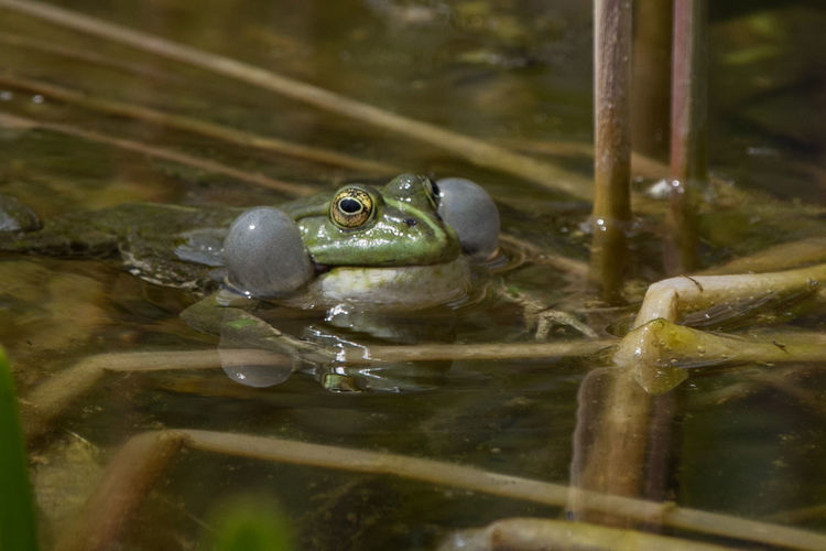 Animal Amphibian Animal Themes Water Frog Animals In The Wild Animal Wildlife Swimming Nature Selective Focus Reflection Animal Head  Animal Eye Bursting Blown Up Full As A Tick Exploding Inflated Full Of Air Puffed Up Swell-headed