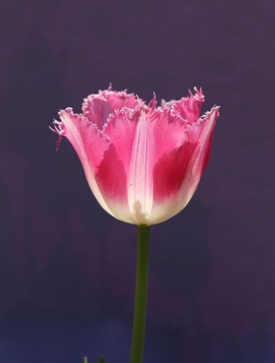 🌷 Lale Tulip Flower Fragility Petal Pink Color Flower Head Nature Beauty In Nature Stem Freshness Plant Close-up Growth No People Blooming Outdoors Day Water