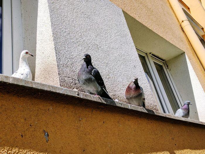 Pigeons Everywhere Pigeons
