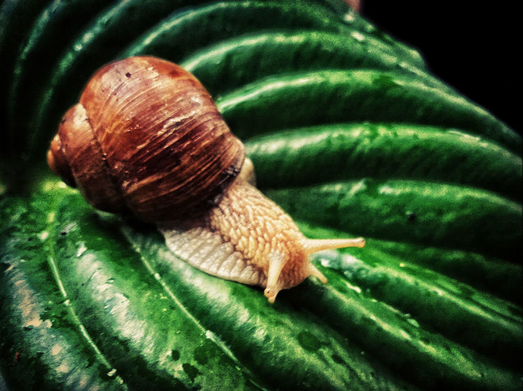 Animal Beauty In Nature Close-up Green Green Green Color Leaf Leaf Vein Mobile Photography Mobilephoto Mobilephotography Nature Nature No People Outdoors Petsandanimals Rain Snail