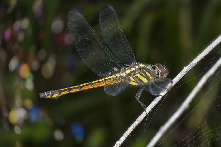 Potamarcha congener dragonfly