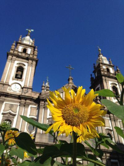 Girassol Igreja Da Candelária Flor Flower Church Igreja Sunflower Yellow Amarelo Rio De Janeiro