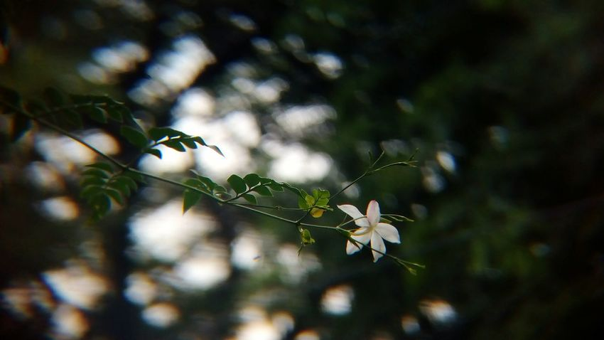Branch Blooming Nature Tree Outdoors Day Flower No People Leaf Beauty In Nature Flower Themes Focus On Foreground Flower Head Jasmine Jasmine Flower Jasmine Collection Shot With Mobile Clip Lens Macro Backgrounds Mix Yourself A Good Time