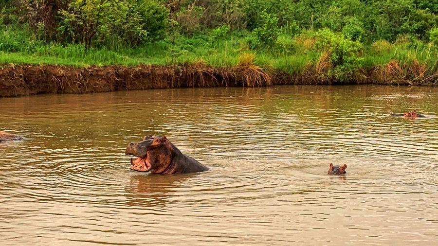 Hippopotamus warning Water Animal Animal Themes Hippopotamus Plant Animals In The Wild Animal Wildlife Mammal Beauty In Nature No People Lake Herbivorous Mouth Open