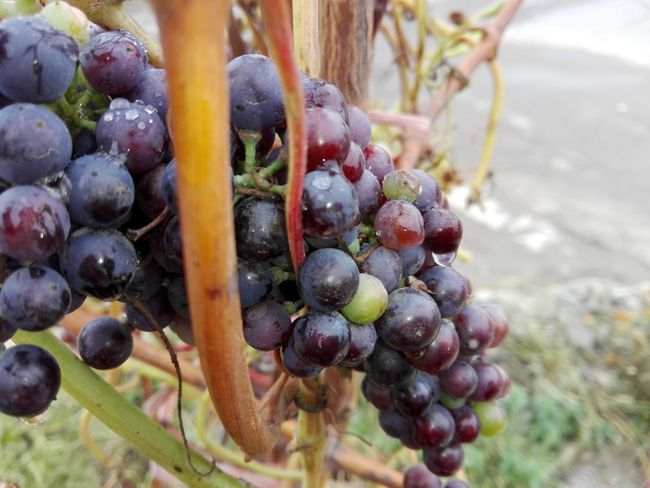 Fruit Grape Bunch Growth No People Healthy Eating Close-up Nature Freshness Outdoors Vine - Plant Slow Food Grapes Slowfood Huaweiphotography Eyeem Market Ionita Veronica Veronica Ionita WOLFZUACHiV Photos Wolfzuachiv Huawei Photography On Market WOLFZUACHiV Photography No Person Vineyard