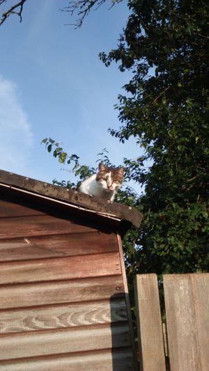 Caturday Happy Caturday Random Cat Neighbourhood Cat Shed Cat On A Roof Cat On The Roof Wood Fence Tree Animal Themes Cat Photography Cat Domestic Cat Blue Sky bit of Cloud Feline Cat Of EyeEm EyeEm Cat On The Edge Up High The EyeEm Collection