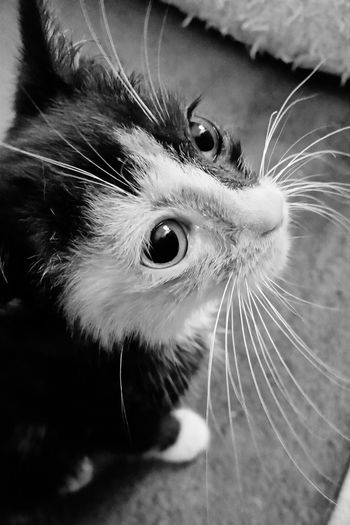 Cat Kitten Kitty Calicocat Big Eyes Baby Adorable Pets Corner Pet Photography  Pets