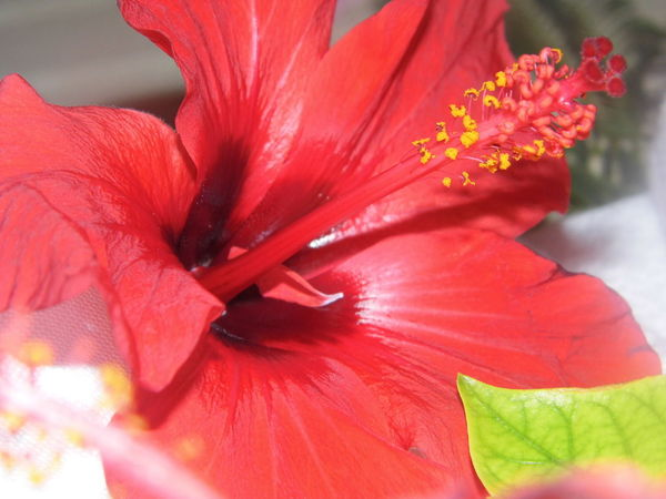 Desert Flower Nectar Beautiful Colour Red Lily Close-up Wonderful Smells Flower Deco Breakfast Greeting Millennial Pink