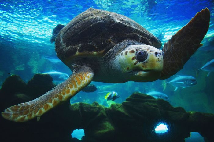 Oh hi there Turtle Giant Turtle Underwater UnderSea Animal Wildlife Animals In The Wild Sea Life Sea No People Nature Swimming Close-up Day OutdoorsHappy Colours Pose Poseforthecamera Poser Posey Wave Ocean Nikon D300 Swimming Tranquility The Week On EyeEm