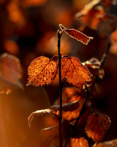 golden brown and black Golden Yellow Orange Color Red Color Leaves_collection Autumn Leafs Autumn Collection Autumn🍁🍁🍁 Autumn colors EyeEm Selects Treescollection Leaf Autumn Close-up Plant Life Wilted Plant Dried Dry Leaves Fallen Leaf Fallen Wilted Dried Plant Dead Plant Blooming Flower Head Growing