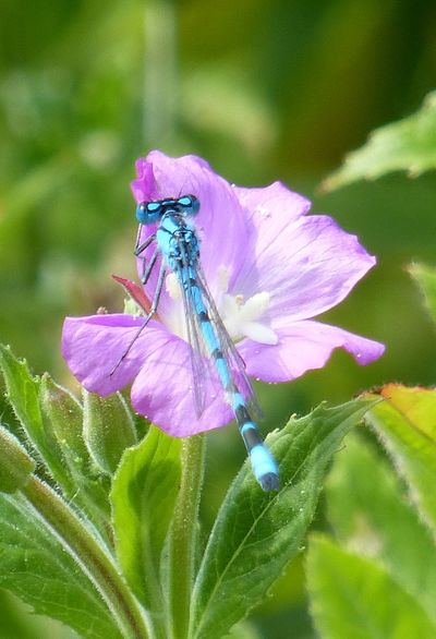 Dragonfly Flowers Flower Close-up Macro Macro Photography Nature Nature_collection Nature Photography Kralingsebos Rotterdam EyeEm Nature Lover Blue Blue Insect