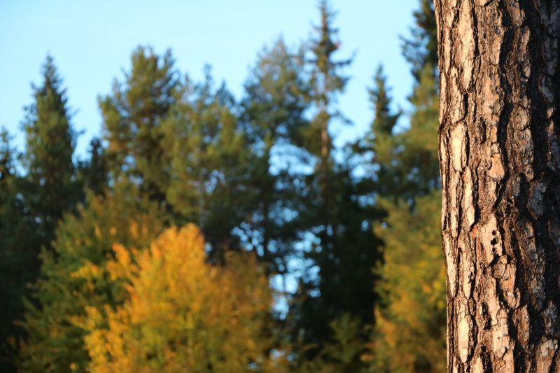 Tree Tree Trunk Nature Forest Beauty In Nature Close-up Sweden östersund Autumn Autumn Colors
