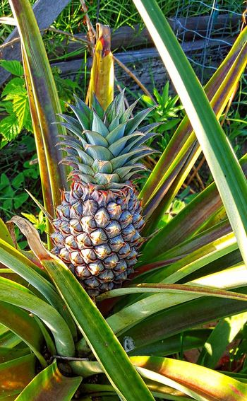 Pineapple Pineapples Flowers,Plants & Garden Plants 🌱 Plants And Flowers Eyeem Plants Plants Plant