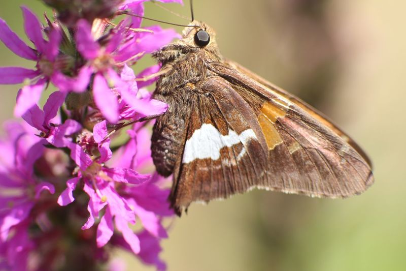 Macro of a silver spotted skipper butterfly Wildlife Butterfly Silver Spotted Skipper EyeEm Selects Flower Animal Themes Animal Flowering Plant Animal Wildlife Invertebrate Insect Plant Fragility Beauty In Nature Vulnerability  Freshness Close-up Flower Head Growth Focus On Foreground Petal