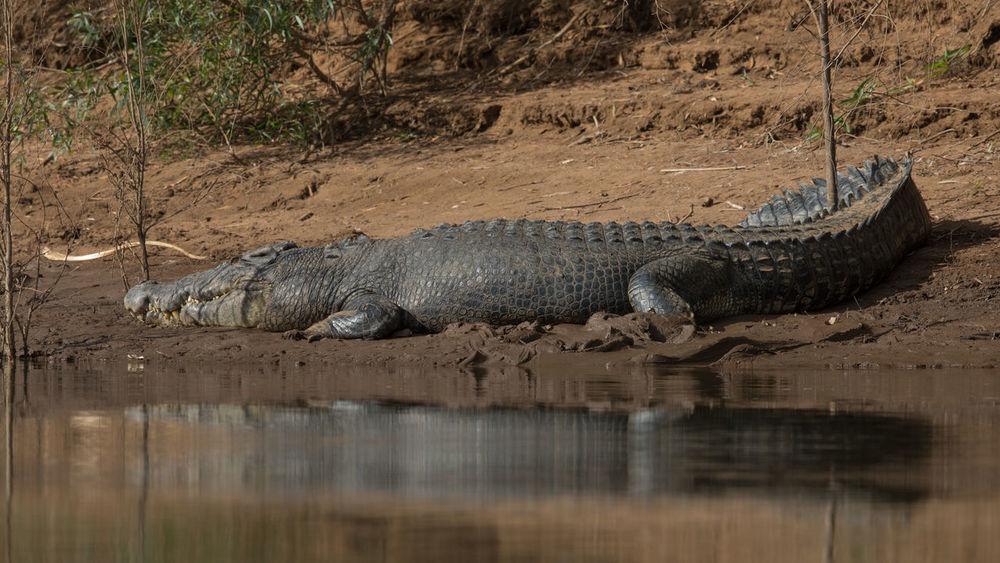 Salt water crocodile Saltwater Crocodile Animal Themes Animal Wildlife Animals In The Wild Crocodile Crocodylus Porosus Day Nature No People One Animal Reptile River Riverbank Water