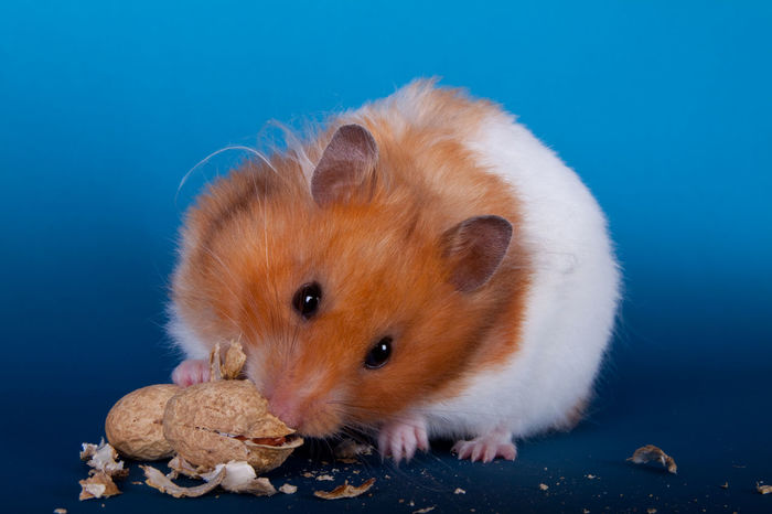 Syrian hamster eating a peanut Adorable Animal Brown Close-up Cute Cute Pets Domestic Animals Feeding  Food Fur Furry Hamster Isolated Mammal Mammals Nut Nuts One Peanut Portrait Pretty Rodant Syrian Hamster  Whiskers Wildlife