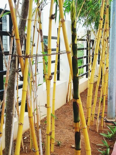 Good Day Today Walking In The Park Bamboo Tree...
