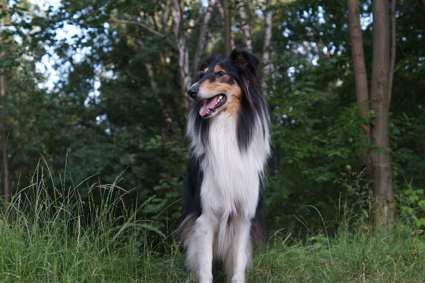 One Animal Animal Themes Domestic Animals Forest Tree Mammal Animal Head  WoodLand Pets Nature Animal Zoology Outdoors Growth Focus On Foreground Animal Hair Non-urban Scene No People Collie Tricolor Sheperd