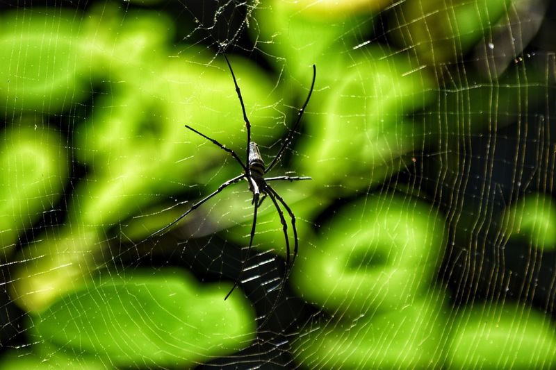 Spider - Lombok Indonesia Big Spiders Fragility Green Color Spider Web Close-up Nature No People Beauty In Nature Spider
