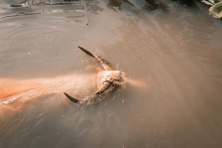 High angle view of water buffalo swimming in lake