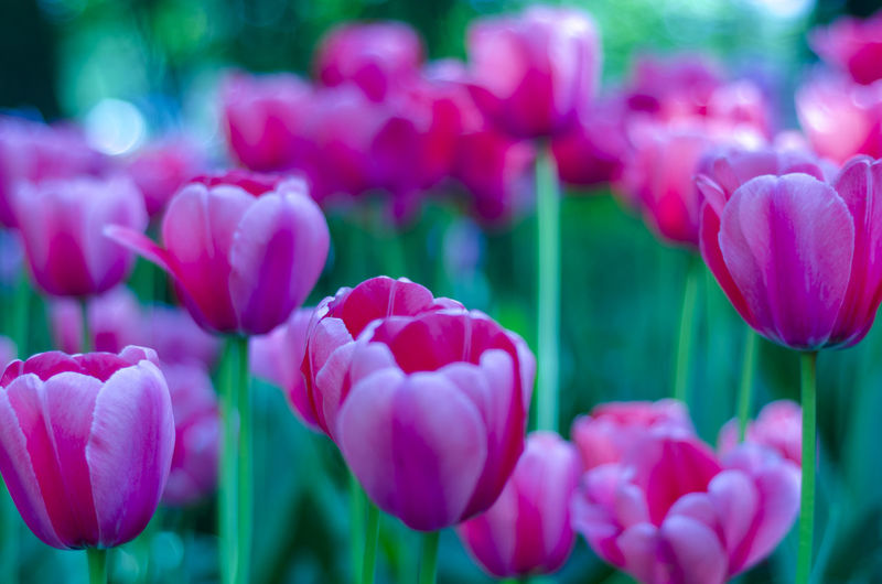 Flowering Plant Flower Beauty In Nature Plant Freshness Vulnerability  Fragility Pink Color Petal Close-up Growth Tulip Inflorescence Nature Flower Head Focus On Foreground No People Day Selective Focus Park Outdoors Springtime Spring