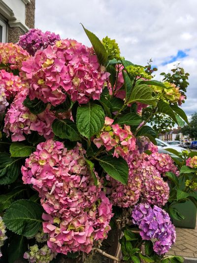 Hydrangea Hydrangea Flowering Plant Plant Flower Growth Vulnerability  Fragility Freshness Pink Color Beauty In Nature Nature Close-up Day Petal No People Plant Part Flower Head Leaf Outdoors Botany Blossom