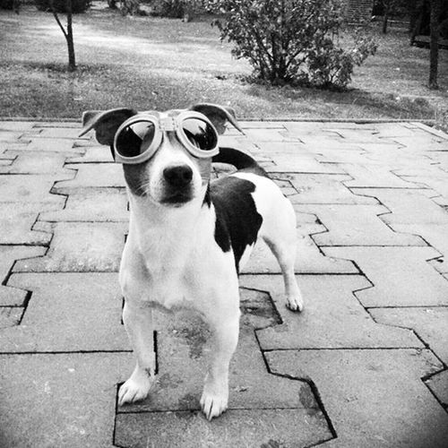 😀Jackrussell Jrt Jack Russell Terrier Dog Style Dogstagram Dogfashion Dogglasses Steampunk Googles Black And White Friday Blackandwhite