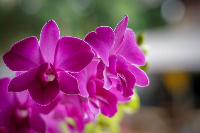 Purple Orchid Flowering Plant Flower Petal Vulnerability  Fragility Freshness Plant Close-up Nature No People Flower Head Beauty In Nature Inflorescence Orchid Outdoors Focus On Foreground Selective Focus