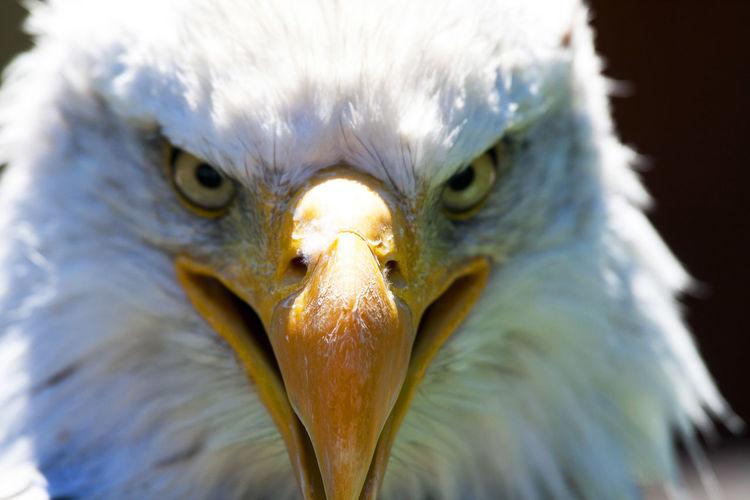 Close-up of the head of a bald eagle