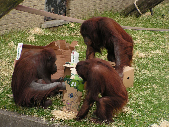 3 residents of Blackpool zoo Animal Themes Animals In The Wild Brown Day Domestic Animals Grass Mammal Nature No People Orangatang Outdoors Togetherness Two Animals Zoo Animals