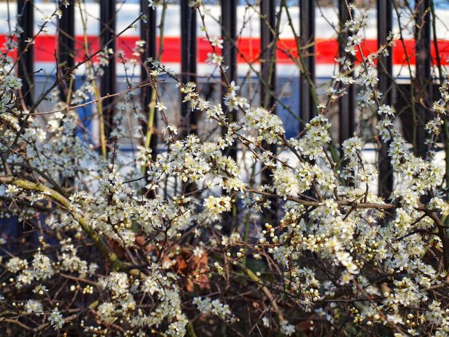 Urban Spring Fever Blossoms  Blossoming Tree Hedgerow London Railway Fence A train passing a spring hedge in Tooting Common, London Park Flowers, Nature And Beauty Transportation Wild Flowers Hawthorn Hedge