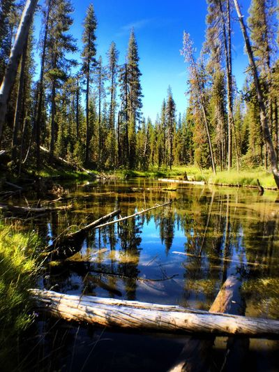 Silent Creek near Diamond Lake Tree Water Reflection Tranquil Scene Tranquility Forest Scenics Blue Lake Nature Beauty In Nature WoodLand Non-urban Scene Growth Tourism Travel Destinations Sky Majestic Vacations Day