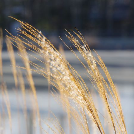 Japanese pampas grass. Pond Lake Nature Japanese Pampas Grass Japan Grass Winter Frozen EyeEm Selects Cereal Plant Rural Scene Close-up Plant Life Frozen Lake Snow Cold