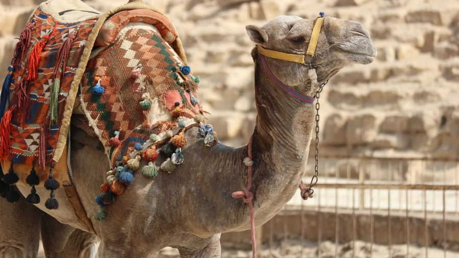 Camel at the Pyramids of Giza, Egypt Middle East Gizeh Giza Pyramid Dromedar Kamel Cairo Ägypten  Tourist Egypt Holiday Culture Kairo City Oriental Focus On Foreground Animal Animal Themes Camel Mammal Animal Wildlife Working Animal Nature EyeEmNewHere